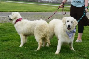 thistledown golden retrievers ohio